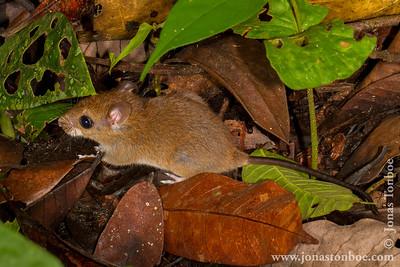 Sacha Lodge Private Reserve: Mouse
