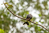 Snail Kite Eating a Snail