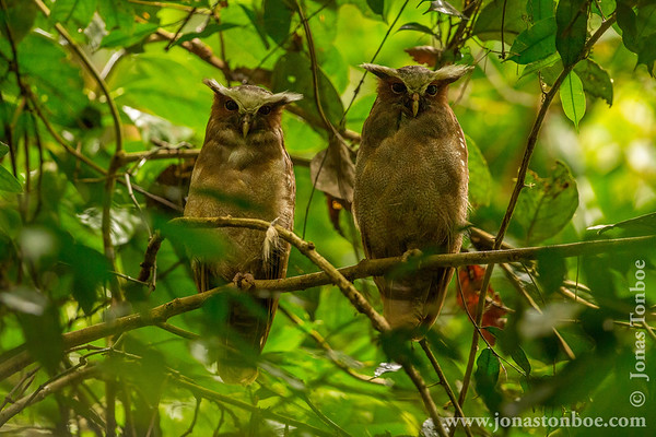 Sacha Lodge Private Reserve: Crested Owl (Lophostrix cristata)