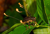 Yasuni National Park. Napo Wildlife Center: Fungus infected beetle