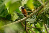 Golden-mantled Tamarin