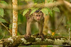 White-fronted Capuchin Monkey