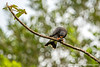 Snail Kite Eating a Snail