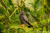 Yasuni National Park. Napo Wildlife Center: Snail Kite (Rostrhamus sociabilis)