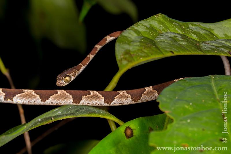 Blunt-headed Vine Snake