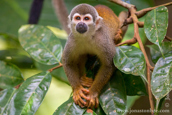 Sacha Lodge Private Reserve: Common Squirrel Monkey (Saimiri sciureus)
