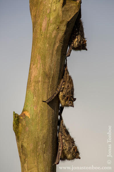 Sharp-nosed Bats