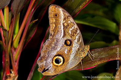 Ecuador. Sacha Lodge Private Reserve. Butterfly house: Butterfly