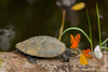 Yellow-spotted Amazon River Turtle and Tear Feeding Butterfly