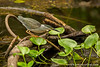 Yasuni National Park. Napo Wildlife Center: Striated Heron (Butorides striata) catching fish