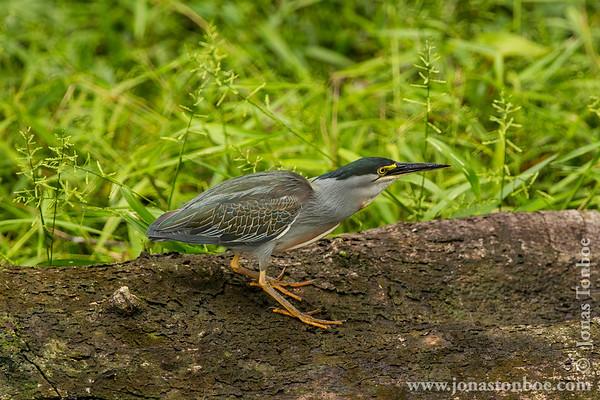 Yasuni National Park. Napo Wildlife Center: Striated Heron (Butorides striata)
