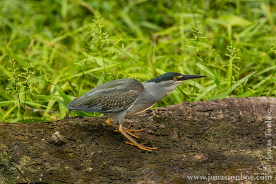 Ecuador. Yasuni National Park. Napo Wildlife Center: Striated Heron (Butorides striata)