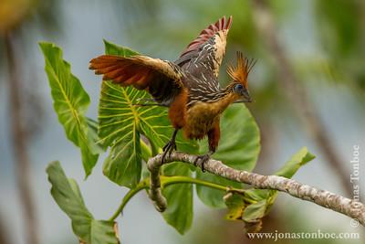 Sacha Lodge Private Reserve: Hoatzin (Opisthocomus hoazin)
