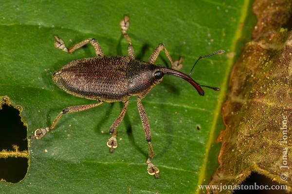Yasuni National Park: Beetle