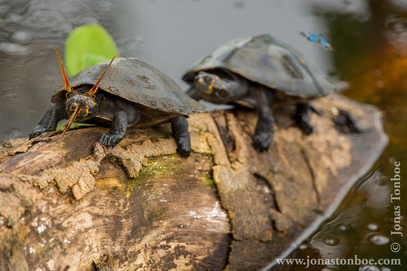 Yellow-spotted Amazon River Turtle and Tear Feeding Butterflies