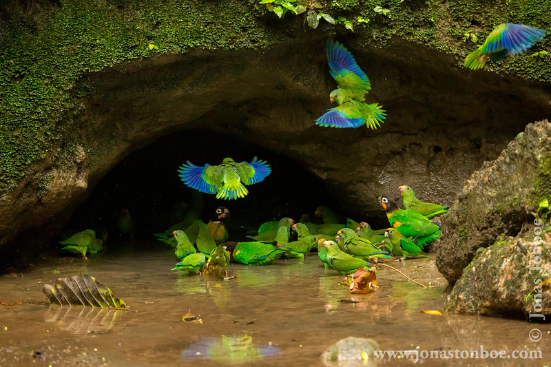 Orange-cheeked Parrot, Cobalt-winged Parakeet and Scarlet-shouldered Parrotlet
