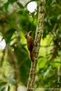 Buff-throated Woodcreeper