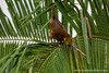 Russet-backed Oropendola Making Its Characteristic Call