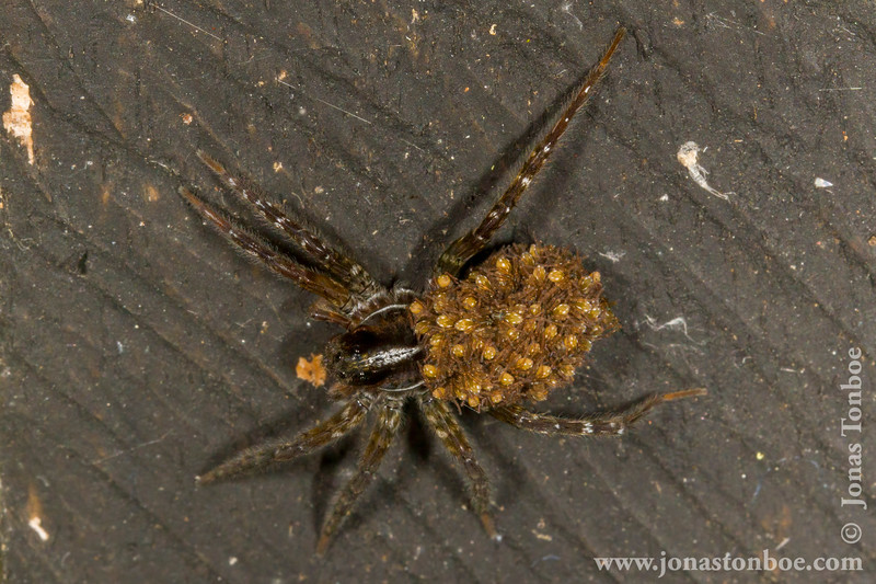 Spider with Tiny Spider Babies on its Back