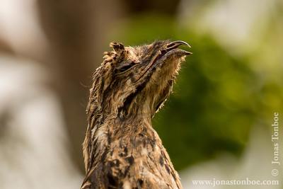Panacocha Reserve: Common Potoo (Nyctibius griseus)