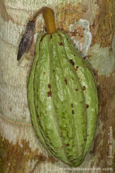 Cocoa Bean
