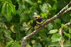 Yasuni National Park. Napo Wildlife Center: Kapok Canopy Tower - Many-banded Aracari (Pteroglossus pluricinctus)