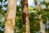 Long-billed Woodcreeper