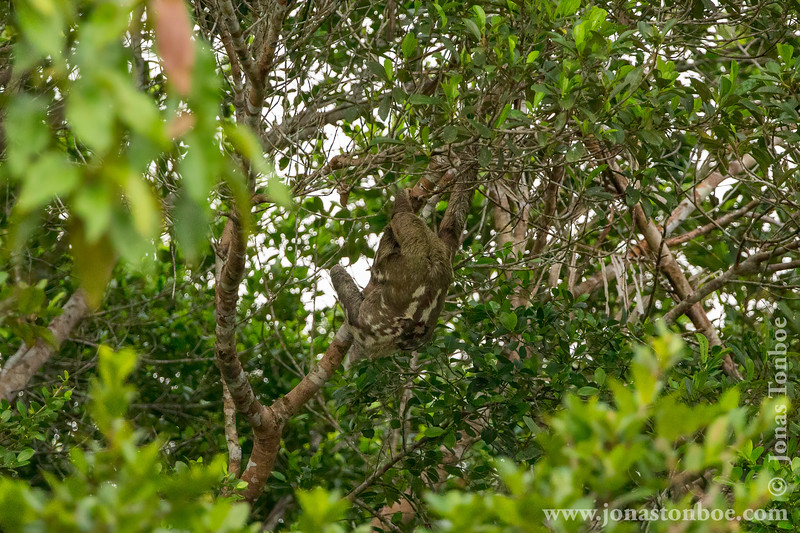 Brown-throated Three-toed Sloth