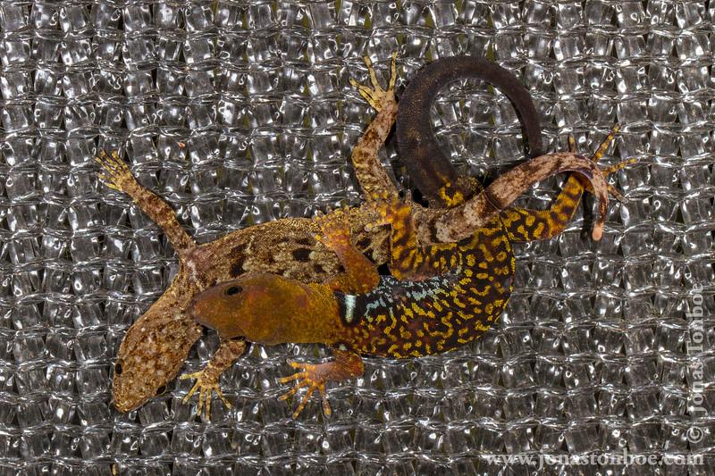 Mating Geckos