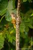 Common Squirrel Monkey