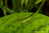 Yasuni National Park. Napo Wildlife Center: Grasshopper