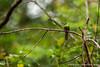 Yasuni National Park. Napo Wildlife Center: White-chinned Jacamar (<i>Galbula tombacea</i>)