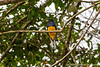 White-tailed Trogon