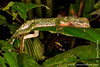 Sacha Lodge Private Reserve: Amazon Wood Lizard (Enyalioides laticeps)