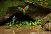 Orange-cheeked Parrot and Cobalt-winged Parakeet
