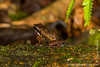 Ecuador Poison Frog Carrying Tadpoles on Its Back