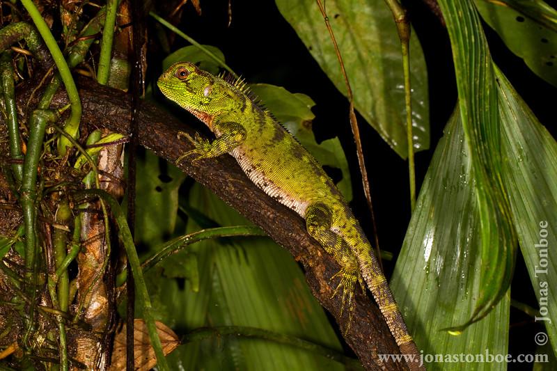 Amazon Wood Lizard