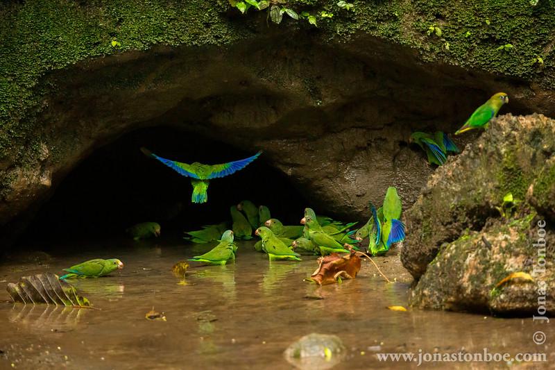 Cobalt-winged Parakeet and Scarlet-shouldered Parrotlet