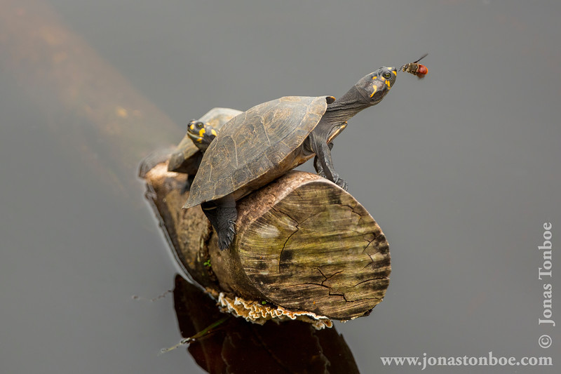 Yellow-spotted Amazon River Turtle and Tear Feeding Bee