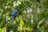 Yasuni National Park. Napo Wildlife Center: Greater Ani (<i>Crotophaga major</i>)