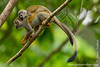 Yasuni National Park. Napo Wildlife Center: Common Squirrel Monkey (Saimiri sciureus)