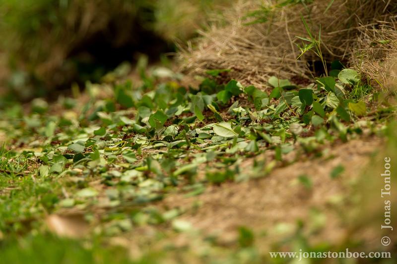 Leaf-cutter Ant