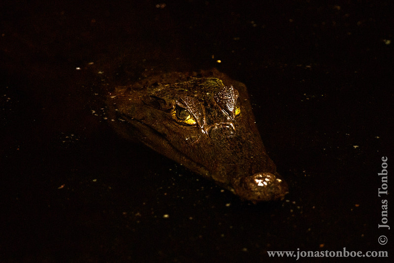 Sacha Lodge Private Reserve: Black Caiman (Melanosuchus niger)