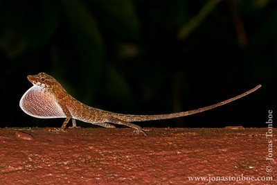 Ecuador. Yasuni National Park. Napo Wildlife Center: Amazon Bark Anole (Anolis ortonii)