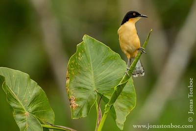 Sacha Lodge Private Reserve: Black-capped Donacobius (Donacobius atricapilla)