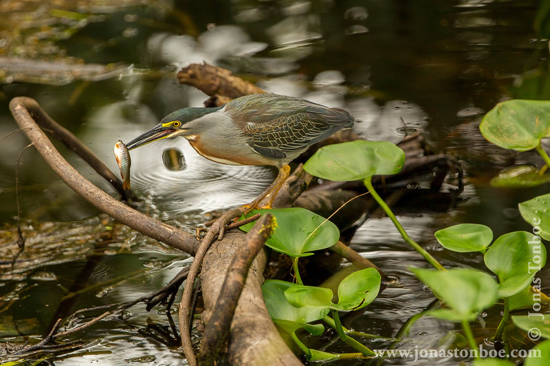 Striated Heron Catching Fish