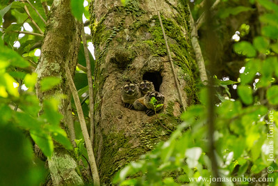 Ecuador. Sacha Lodge Private Reserve: Night Monkey (Aotus vociferans)