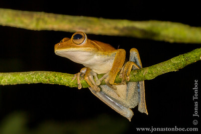Ecuador. Sacha Lodge Private Reserve: Convict Tree Frog (Hyla calcarata)