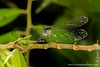 Yasuni National Park: Dragonfly