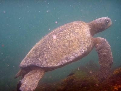 Galapagos green sea turtle